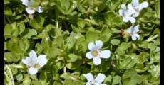 Bacopa: Benefits, Sources, Dosage, Side effects and Supplement Info